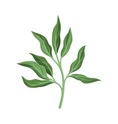 Peony branch with leaves on a vector