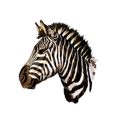 zebra head portrait from a splash watercolor vector image
