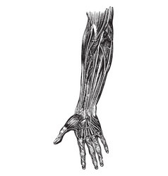 Nerves of the forearm vintage vector