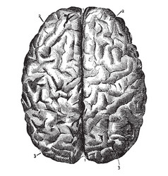 Brain seen from above vintage vector