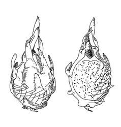 Dragon fruit or pitahaya Circuit and strokes vector image