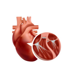 Realistic heart anatomy with close-up cross vector