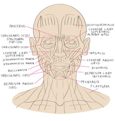 Face muscle color vector