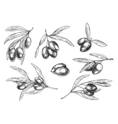isolated sketches of olive oil tree branches vector image