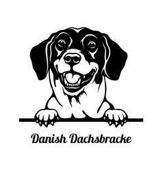 peeking dog - danish dachsbracke breed - head vector image