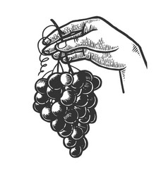 bunch of grapes in woman hand engraving vector image