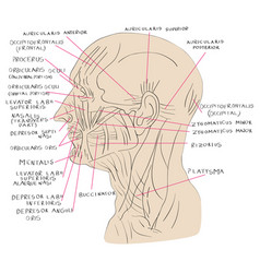 Head muscles lateral color vector