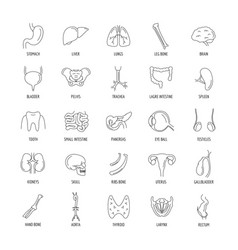 Internal organs set outline style vector