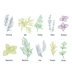 Set of colored hand drawn herbs and spices vector
