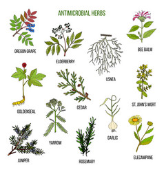 Antimicrobial herbs hand drawn set of medicinal vector