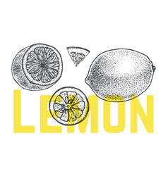 lemon or lime hand drawn sketch vintage vector image