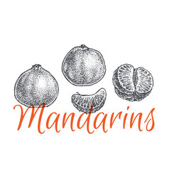mandarin and tangerine hand drawn sketch vector image