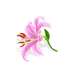 beautiful pink lily isolated on white background vector image