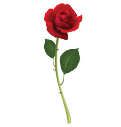 Red rose isolated on white 3d vector