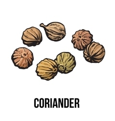 Coriander seeds sketch style vector