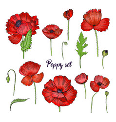 set of various poppy red flower collection vector image