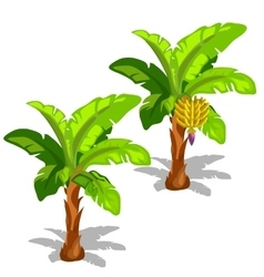 Two palm trees with hanging bananas and without vector