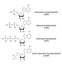 Adenosine phosphates vector