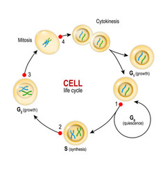 Cell cycle checkpoints dna damage spindle vector