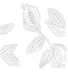 drawing of contour spathiphyllum vector image