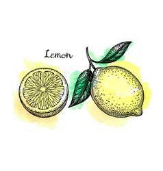 Lemon sketch set vector