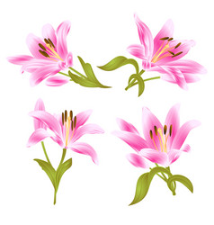 Pink lily lilium candidumflower with leaves vector