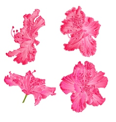 Blossoms pink rhododendron Mountain shrub vector image