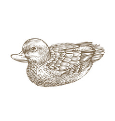 duck drawn sketch waterfowl bird vintage vector image