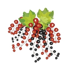 Hand drawn berries black red currant close up vector