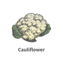 Hand-drawn ripe head of cauliflower vector