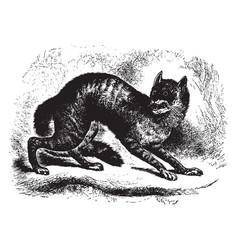 Caffre cat vintage vector