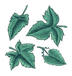 set grape leaves vineyard plant collection vector image
