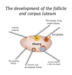 It shows the development of ovarian follicle and vector image