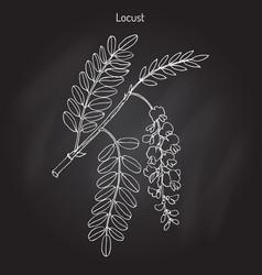 Robinia pseudoacacia or black locust vector