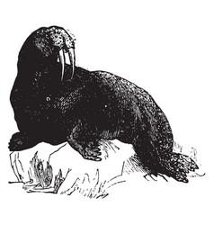 Walrus vintage vector