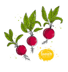 radish hand drawn in the style vector image