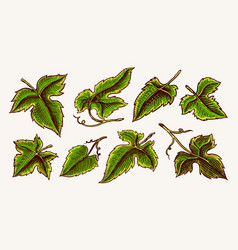 set grape leaves vineyard plant collection in vector image