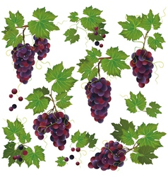 Set of black grape isolated on white background vector image