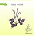 black cohosh actaea racemosa or bugbane medicinal vector image vector image