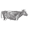 the superficial muscles of a cow vintage vector image vector image