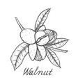 walnut botanical vector image