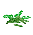 Fresh Moringa Fruit and Leaves on White Background vector image vector image