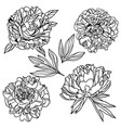 lush peonies and leaves hand drawn art vector image vector image