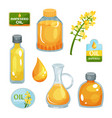 bright-yellow rapeseed flower vegetable oil in vector image vector image