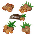 pecan kernel in nutshell with leaves set vector image vector image