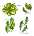 green vegetable and salad leaf sketch set vector image vector image