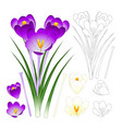 purple and white crocus with outline isolated on vector image