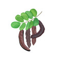 ripe carob branch with sweet pods leaves on white vector image vector image