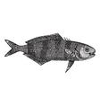 Pilot fish vintage engraving vector image vector image