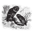 saw whet and sparrow owls vintage vector image vector image